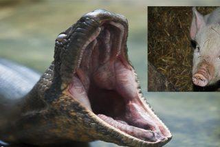 La anaconda atrapa al cerdito y cuando lo está asfixiando para merendárselo, pasa lo impensable
