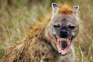 Esta hiena salva a un jabalí de ser devorado por un leopardo