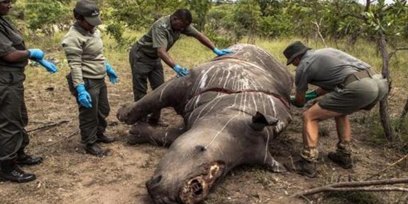 Los ataques de furtivos llevarán en 3 años a la extinción total de los rinocerontes en Botsuana