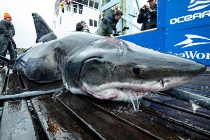 'Misterio': Capturan a este tiburón blanco con la cabeza entera mordida por otro animal mucho más grande, ¿cuál?