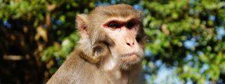 ¡Los monos inteligentes superan a los humanos en un experimento de flexibilidad cognitiva!