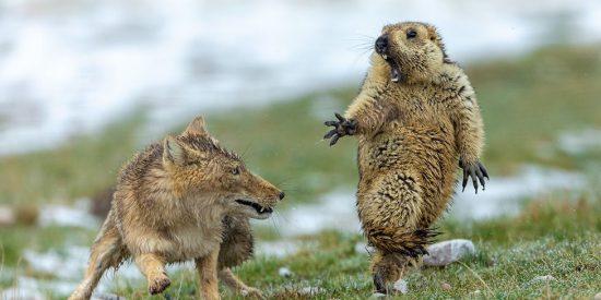 Fotógrafo de Vida Silvestre 2019: el encuentro mortal entre un zorro y una marmota