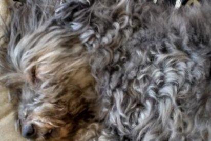 Os presentamos a Scotty, el perro más viejo de España