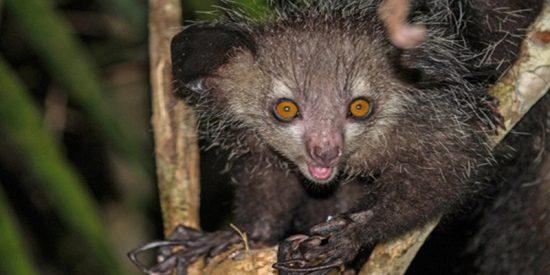 Os presentamos al único primate con seis dedos recientemente descubierto