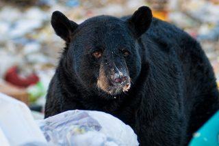 "Los osos que comen ""comida chatarra"" humana hibernan menos"