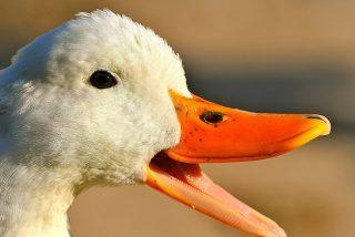 Mascota Viral: cuando veas esto, no te atreverás en tu vida a pedir pato a la naranja