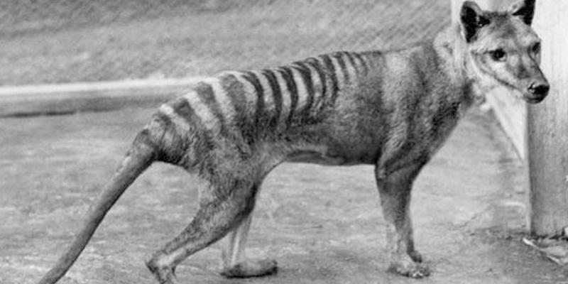 Pese a estar extinto desde 1936, el tigre de Tasmania ha sido visto ocho veces