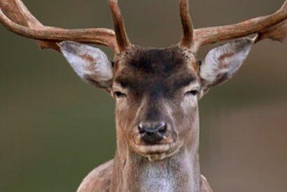 Un ciervo le arranca la mitad de la cara a un cazador y él ni se entera