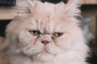 Vicios Virales: un masaje erótico con gato persa