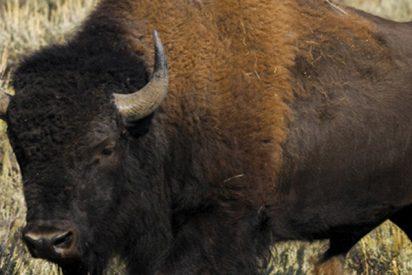 Un hombre no muy listo, vuelve al lugar donde fue corneado por un bisonte meses antes y su novia es atacada también