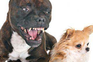 Valiente chihuahua se enfrenta a un feroz pitbull y su forma de pelear suma millones de vistas