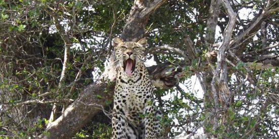 sri-lanka-leopardo-portada