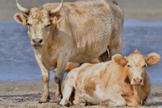 Estas son las vacas que se llevó el huracán Dorian y aparecieron vivas meses después