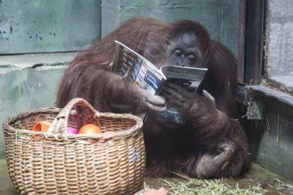 Vídeo viral: La orangután Sandra, el primer animal en adquirir una personalidad jurídica llega a un santuario de simios en Florida