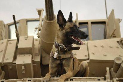 ¿Sabías que la participación de este perro malinois en la operación contra Al Baghdadi ha disparado la demanda de esta raza?