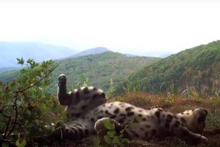 Pillan a este raro leopardo jugando como un gatito doméstico en el Lejano Oriente ruso