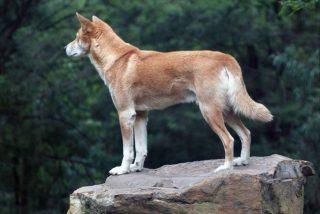 Un águila arroja un cachorro en el patio de una mujer y resulta ser un dingo casi extinto