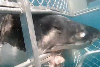 Vídeo viral: Este gran tiburón blanco impacta contra una jaula con buzos dentro