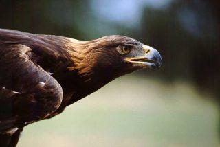 Vídeo viral: Dron graba 'en primera persona' el feroz ataque de un águila que le clava sus garras en pleno vuelo