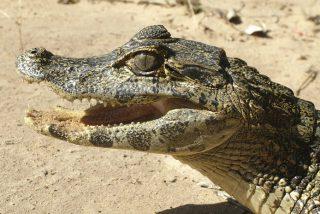 Vídeo viral: Encuentra un cocodrilo en el baño de su casa en plena noche y pasa esto…