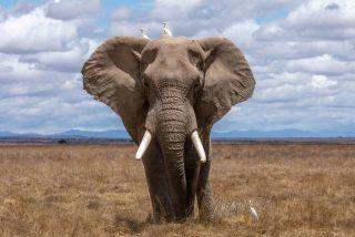 Vídeo viral: Este elefante se convierte en un símbolo de libertad al cruzar una cerca eléctrica tras derribar uno de sus postes