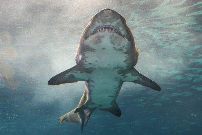 Encuentran la mano de un turista desaparecido en el estómago de este tiburón