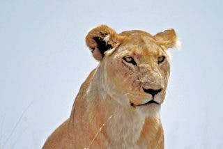 Vídeo viral: Esta leona asusta a los estudiantes de una escuela al pasearse por los tejados