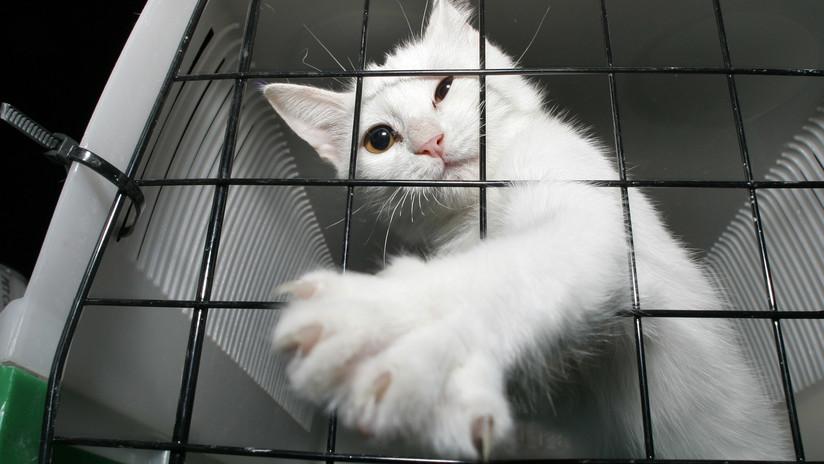 Así fue el ingenioso plan de un hombre al que una aerolínea le prohibió viajar con su gato en cabina por estar muy gordo