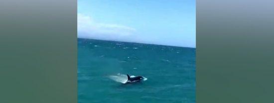 Vídeo Viral: Este grupo de orcas persigue a unos tiburones blancos