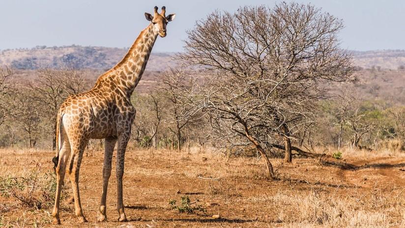 Turista resulta gravemente herido tras ser aplastado por una jirafa en un safari en África