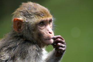 Este mono utiliza el teléfono de su cuidadora para realizar compras por Internet