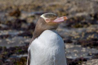 ¿La elección de este pingüino como ave del año en Nueva Zelanda, es el resultado de 'injerencia rusa'?