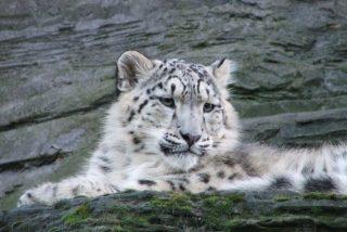 Reto: ¿Puedes encontrar a las cuatro crías de leopardo de las nieves en esta foto?