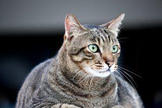 Este gato gordo que engañó a una aerolínea se convierte en una estrella de la Red