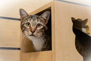 Vídeo viral: La red exige la libertad para el gato Quilty, 'confinado en aislamiento' por dejar escapar a sus compañeros del refugio