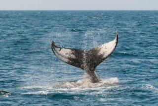 Vídeo viral: Esta gigantesca ballena azul sorprende a un grupo de surfistas
