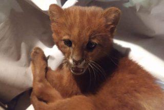 Una chica rescata y cría a un felino creyendo que era un gato, pero en realidad era un depredador salvaje