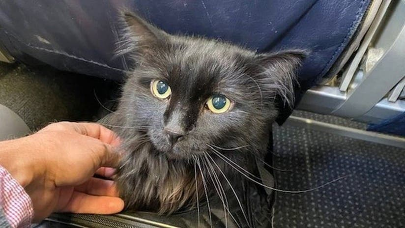 Este gato desaparecido se reencuentra con su dueño después de 5 años y 2.000 kilómetros de recorrido