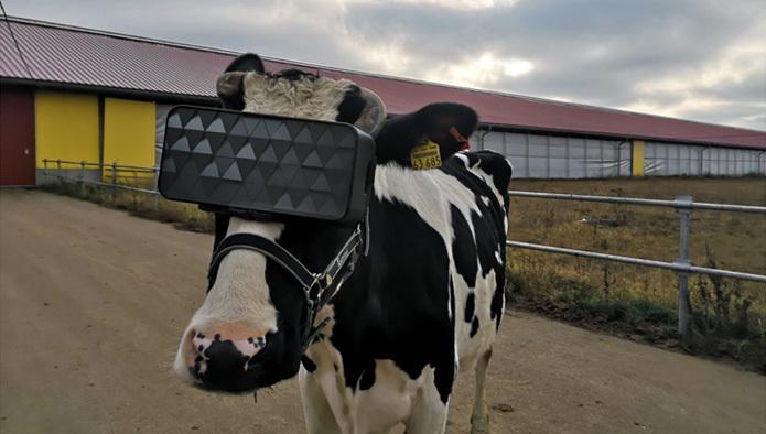 En esta granja ponen a las vacas gafas VR para hacerlas sentir en un campo virtual