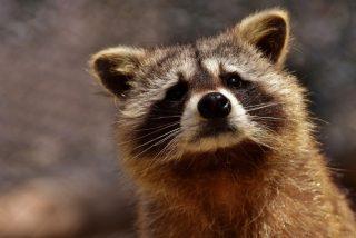 Vídeo viral: Este mapache con sobrepeso se queda atascado en el conducto de ventilación de un piso