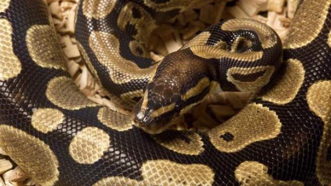 Aparece una mujer muerta rodeada por 140 serpientes y una pitón al cuello