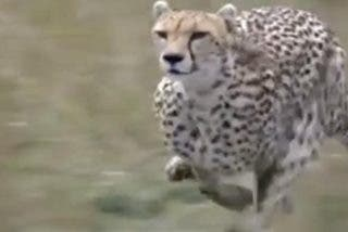 Vídeo viral: así da caza este feroz guepardo a una gacela