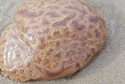 ¿Sabes qué es esto?: Descubren este extraño ser parecido a un cerebro en una playa y recurren a la Red para saber qué es