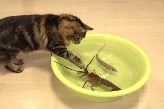 Vídeo Viral: la langosta feroz y los gatos despavoridos