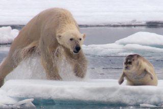 El hambriento oso polar sale a cazar focas