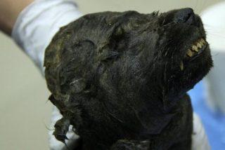 El cachorro de perro o de lobo de 18.000 años, hallado congelado en Siberia, desconcierta a los científicos