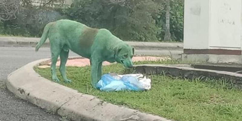 Maltrato Animal: un perro pintado de verde llorando y desesperado en busca de comida