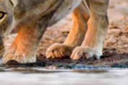 Esta leona cuyo ojo tuerto parece de cristal se hace viral
