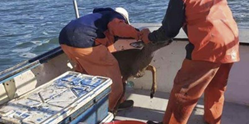 Este pescador de langostas rescata a un ciervo que flotaba a la deriva a 8 kilómetros de la costa