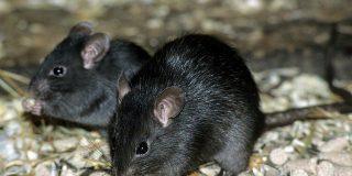 ¡Alerta!: llega a Madrid la rata negra que ya estaba en Barcelona y Palma de Mallorca